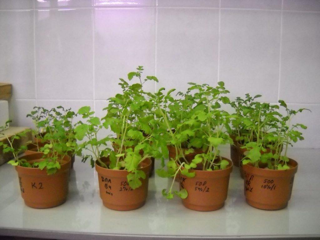 Рис.5. Горчица, выращенная на почве с добавлением биоугля из иловых осадков (слева направо): 0%, 2%, 5%, 10%.